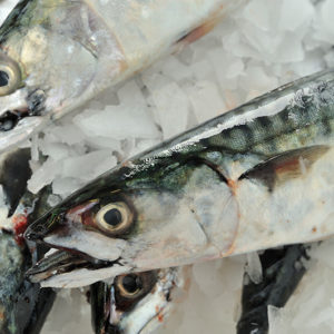 Fresh Mackerel